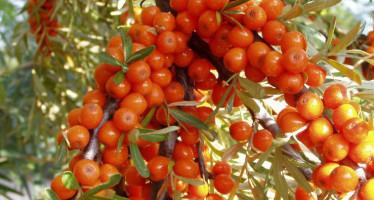 Целебные растения для долголетия и здоровья