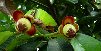 Картинки по запросу мангостин дерево