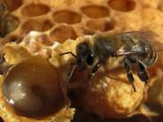 Пчелиное маточное молочко — применение для здоровья