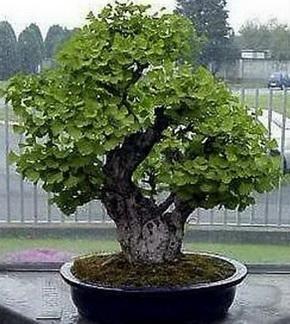 Бонсай дерево Гингко Билоба