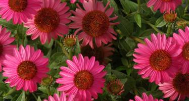 Эхинацея цветок — иммунный щит для организма