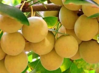Плоды гингко билоба