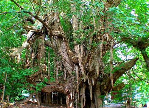 Реликтовое дерево Гингко билоба