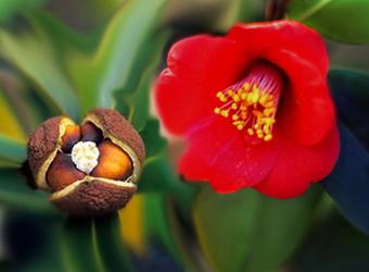 Цветок и семена камелии