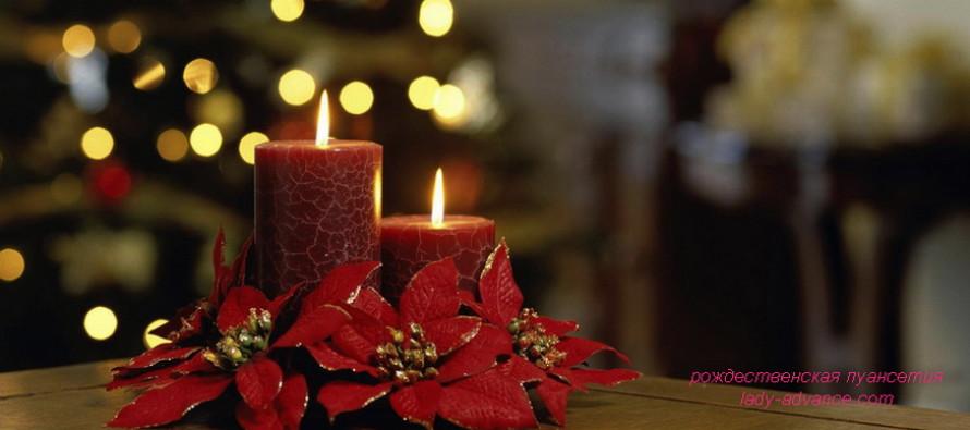 Рождественская пуансеттия — цветок-звезда новогодних праздников