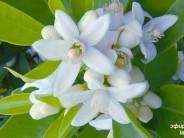 Эфирное масло ванили — тонкая сладость и манящая молодость