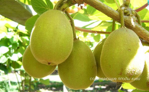 созревающие плоды киви