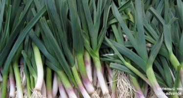 Молодой зеленый чеснок — первый весенний деликатес
