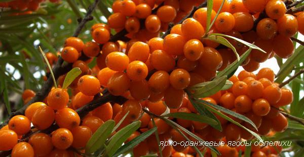 Ярко-оранжевые ягоды облепихи