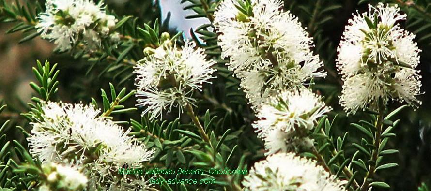 Масло чайного дерева. Свойства чудесного природного антисептика