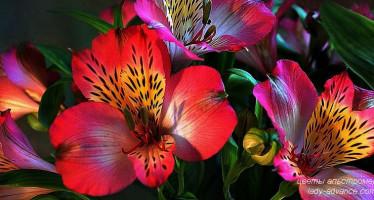 Нежные цветы альстромерии. Фото для воскресного настроения