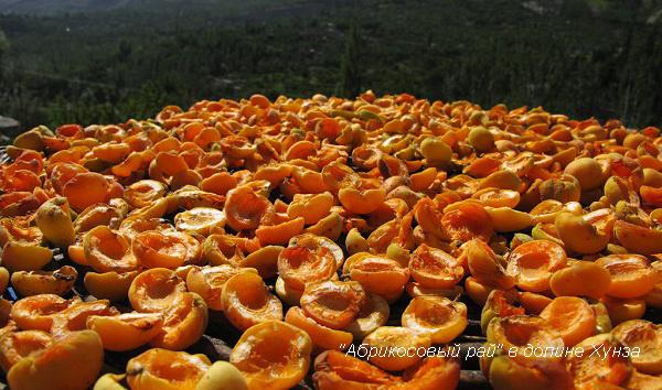 абрикосовый рай в долине Хунза