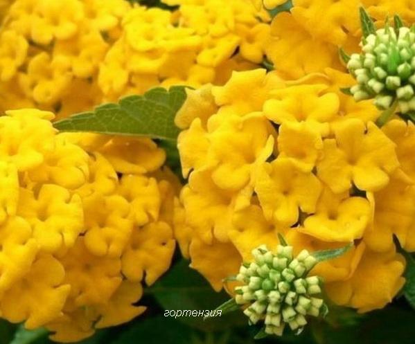 желтая гортензия