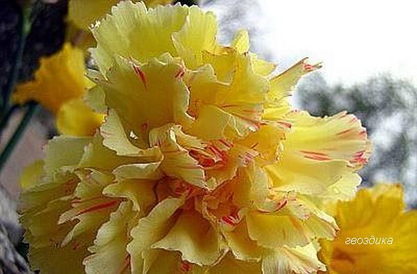 желтая гвоздика