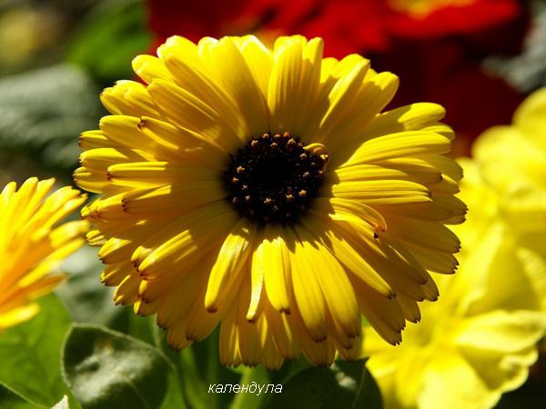 желтая календула