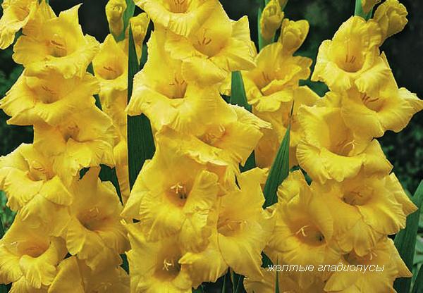 желтые гладиолусы