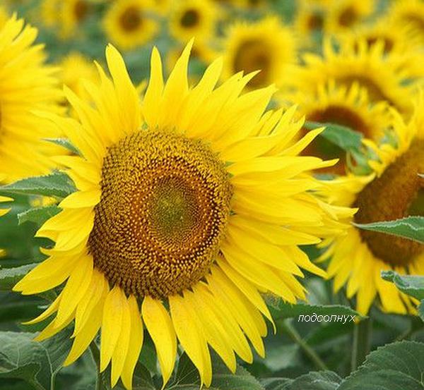 желтый подсолнух