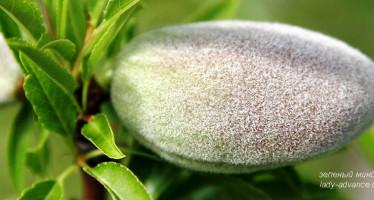 Зеленый миндаль — полезный продукт для здоровья