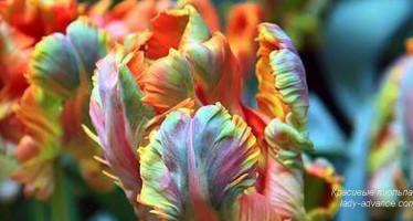 Самые красивые тюльпаны. Фото