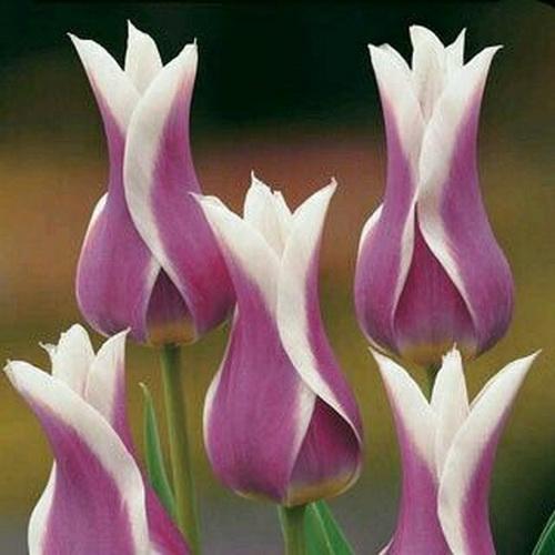 Тюльпан Ballade Bloom