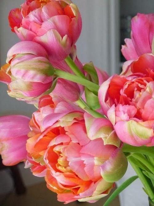 Тюльпан Peony