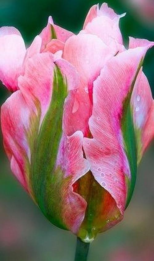 Тюльпан Pink