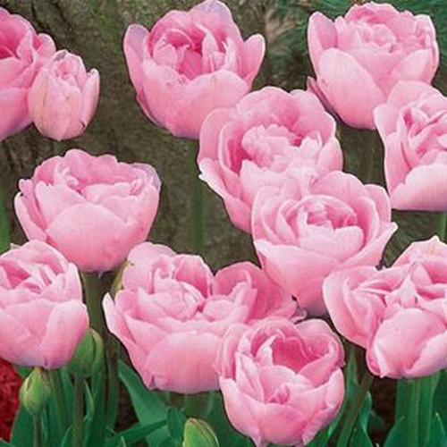 Тюльпан Pink Fluff