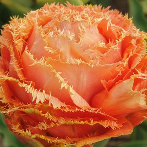 Тюльпан Sensua Touch
