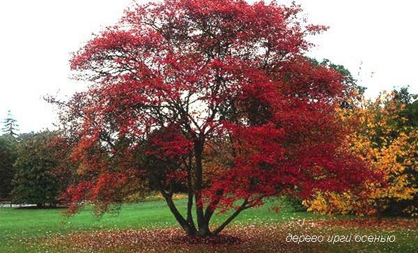 Яркое дерево ирги осенью