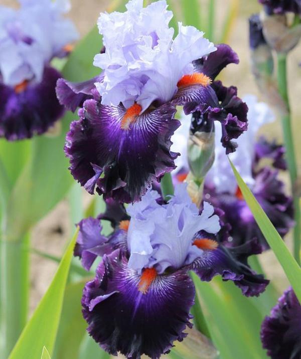 бело-фиолетовый ирис