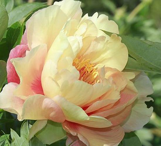 розово-кремовый пион