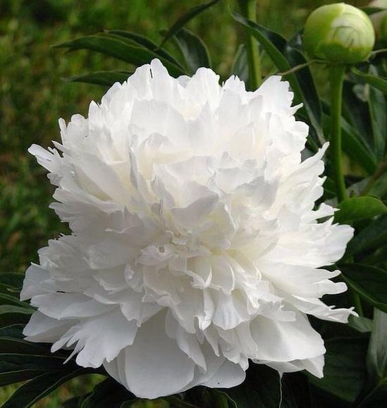 цветущий белый пион