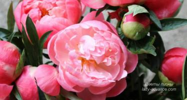 Изюминка весны – благоухающие цветы пионы. Фото