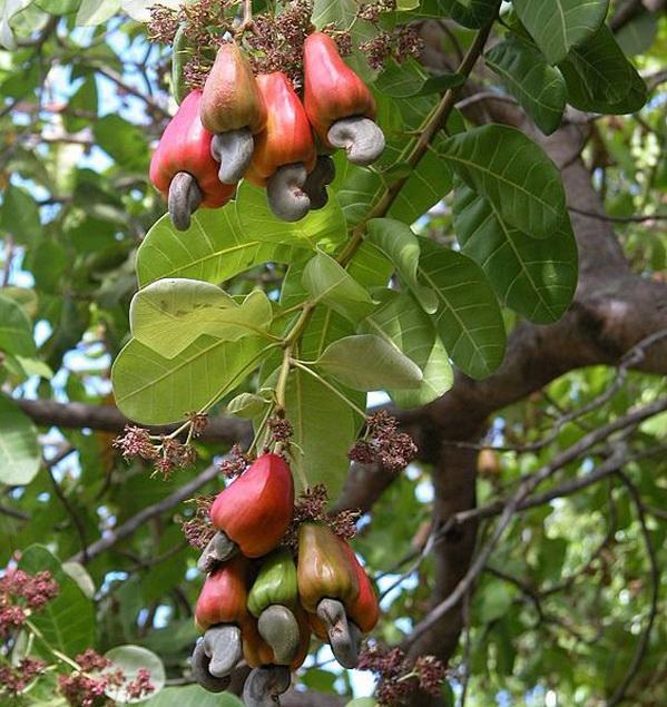 плоды кешью на дереве