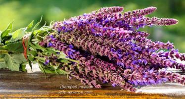 Шалфей трава — польза для здоровья, кожи и волос