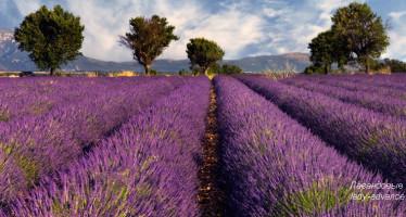 Лаванда — растение для души, творчества, красоты и дома