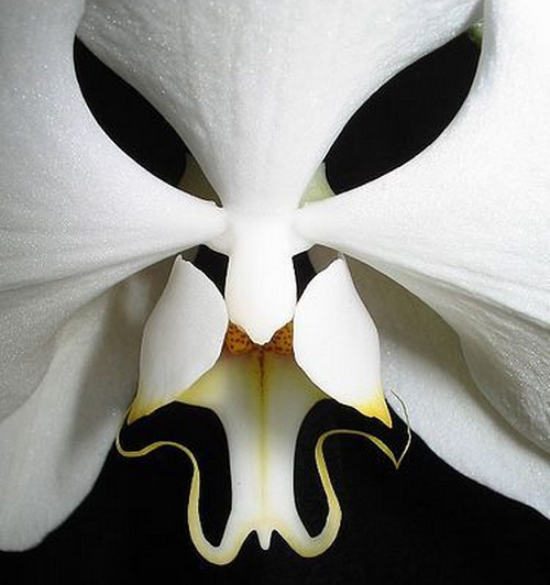 Орхидея моль Фаленопсис Black Eyes