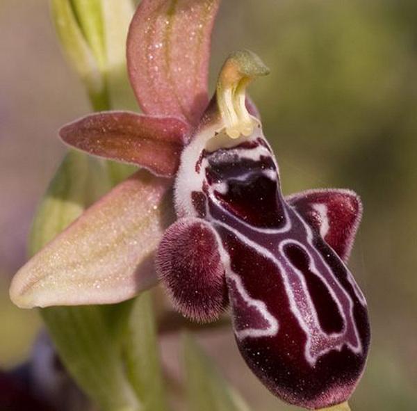 орхидея Kotschyi