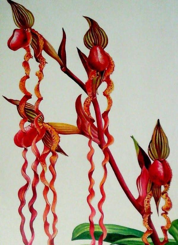 орхидея саравака