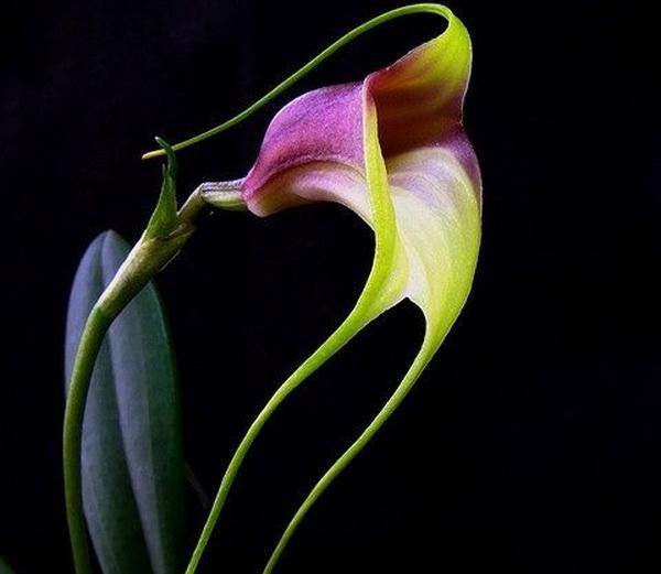 орхидея_3