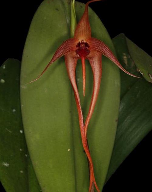 орхидея_4