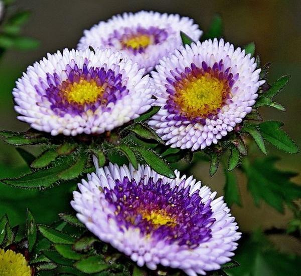 бело-фиолетовая астра