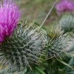 Растение чертополох - целитель тела и отрада для души