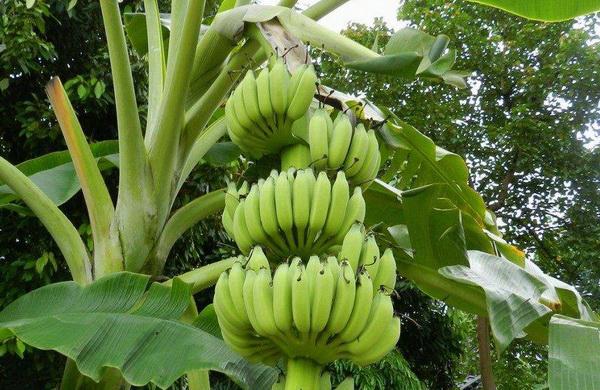 вред зеленых бананов