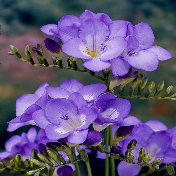 фрезия фиолетовая