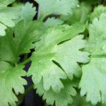 Кинза - зелень изысканно ароматная и полезная