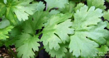 Кинза — зелень изысканно ароматная и полезная