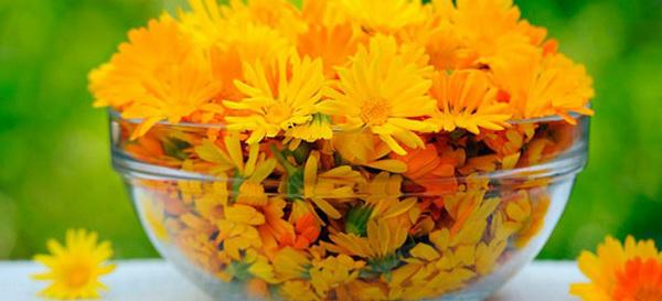 лечебные соцветия календулы
