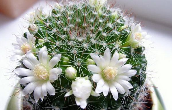 кактус с белыми цветами