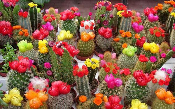 кактусы с цветами
